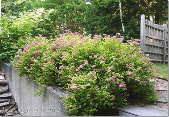 Display of Spirea blooms spilling over retaining wall (photo credit: Jean Potuchek)