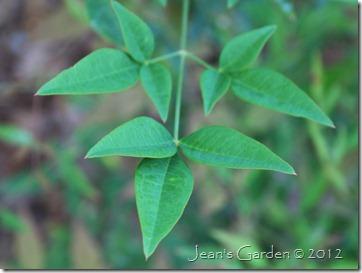 gburg mystery shrub foliage