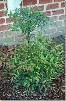 gburg mystery shrub