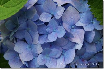 xanh hydrangea