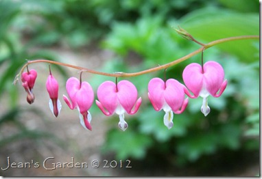 A row of bleeding hearts blooming in the garden (photo credit: Jean Potuchek)