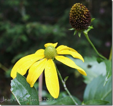 Rudbeckia 'Herbstsonne' in October