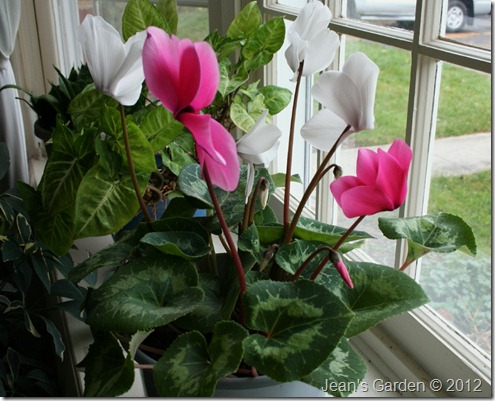 two-color cyclamen