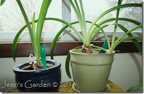amaryllis foliage1