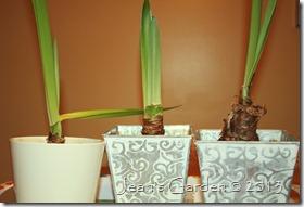 amaryllis foliage2