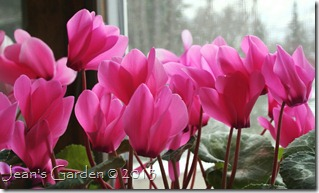 cyclamen blooms1