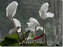 cyclamen blooms2