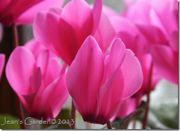 cyclamen close-up