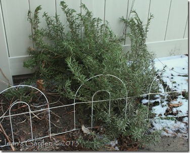 Rosemary plant after two years of growth (photo credit: Jean Potuchek)