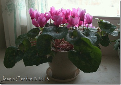 bedroom cyclamen