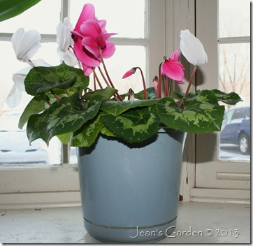 living room cyclamen