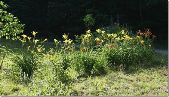 roadside daylilies2