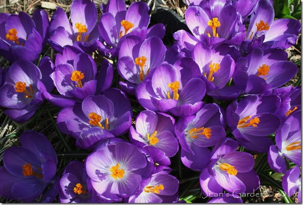 crocus blooms in sun