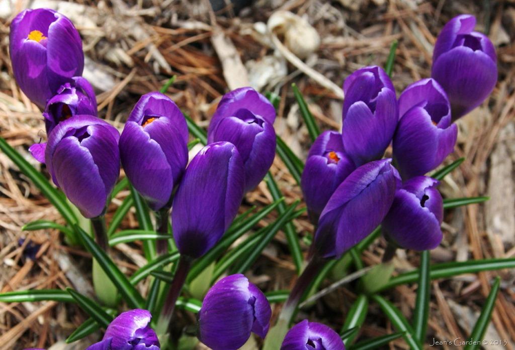 Spring color anticipation jeans garden crocus blooms mightylinksfo