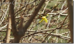 forsythia brave flower