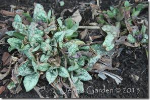 pulmonaria foliage