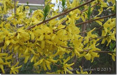 gburg forsythia blooms