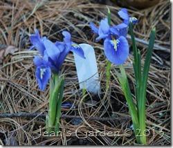 maine dwarf iris