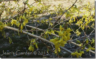 maine forsythia opening