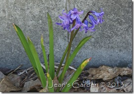maine hyacinth blooms