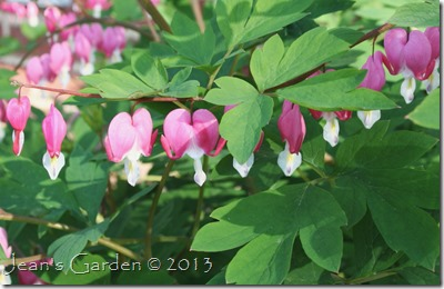 gburg bleeding hearts 2013