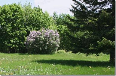 lilac in field