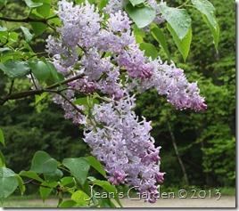 lilacs maine
