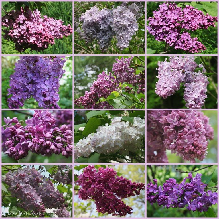 Lilacs Jean S Garden