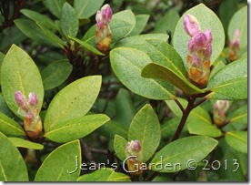 rhododendron opening
