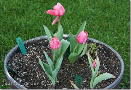 tulip experiment
