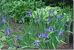 blue iris in bloom