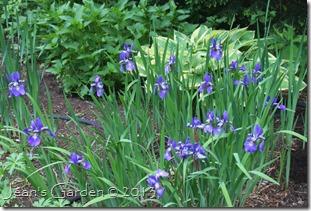 blue iris in bloom