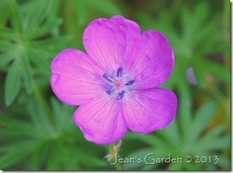 geranium sanguineum2