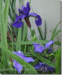iris and tradescantia