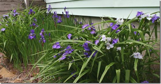 iris bed in bloom