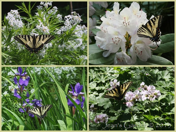 swallowtails2