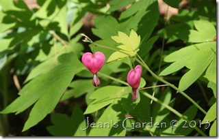 tentative bleeding hearts