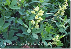 yellow baptisia