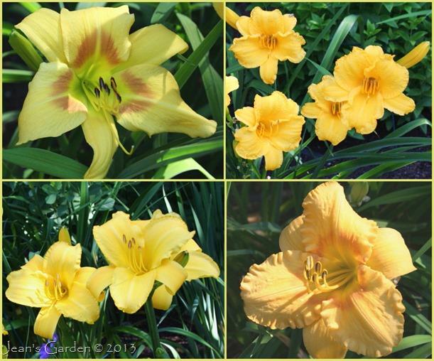 Blue & Yellow Daylilies 2013