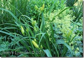 daylily buds1