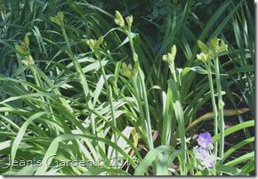 daylily buds2