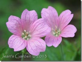 pink g. oxonianum
