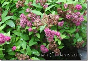 spirea brown mush