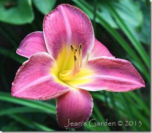deep pink daylily