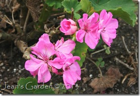 gburg container pelargonium