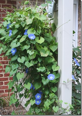 gburg patio fence morning glories