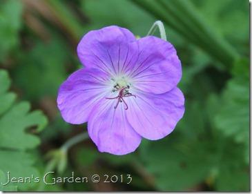 gburg rozanne flower
