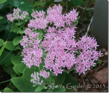 gburg sedum autumn joy