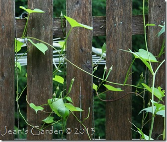 morning glory seed pods