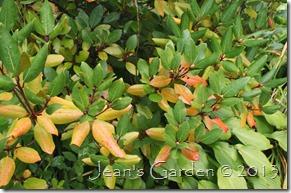 rhododendron color